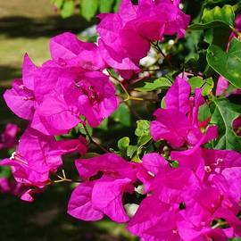 John Clark - Bougainvillea at Orchid Heights