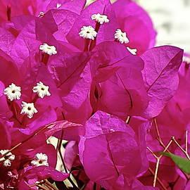 Bougainvillea Fuchsia by Lyuba Filatova