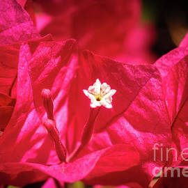 Bougainvillea Macro by Robert Bales