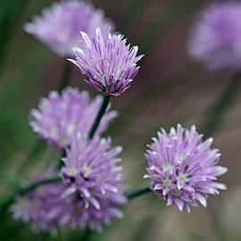Debbie Oppermann - Bouquet Of Chives