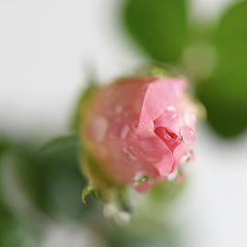 Karen Pezzimenti - Bouton De Rose