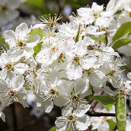 Bradford Pear-5204 by Gary Gingrich Galleries