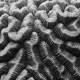 Roupen  Baker - Brain Coral Details