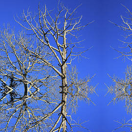 Branching In the Sky by Christopher Phelps