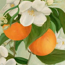 Branch Of Orange Tree In Bloom