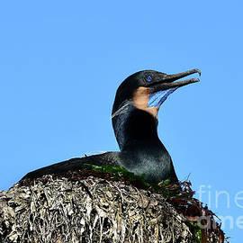 Brandt's Cormorant Sitting on Her Nest by Susan Wiedmann