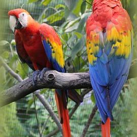 Brazilian Parrots by Dora Sofia Caputo
