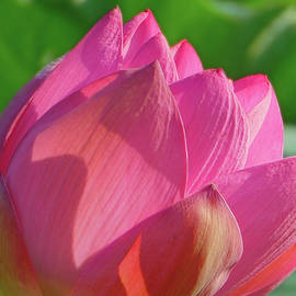 Emmy Marie Vickers - Bright Pink Lotus