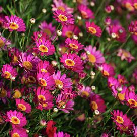 Lynn Bauer - Bright Pink Marguerite Daisies