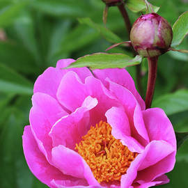 Carol Groenen - Bright Pink Peony