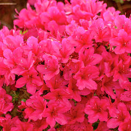 Bright Red Azaleas by Teri Virbickis