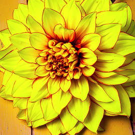 Bright Yellow Dahlia - Garry Gay
