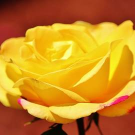 Bright Yellow Rose With Pink by Cynthia Guinn