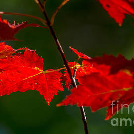 Cheryl Baxter - Brilliant Red Maple Leaves