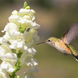 Broadtail Hummingbird at Snapdragon Flower by Lowell Monke
