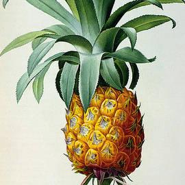 Bromelia Ananas, from