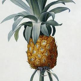 Bromelia Ananas - Pierre Joseph Redoute
