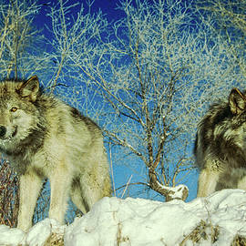 Eric Albright - Brother Wolves