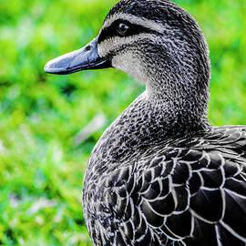 Brown Duck 1