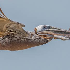 Brown Pelican Flight by Morris Finkelstein