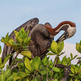 Brown Pelican, Galapagos Islands by Venetia Featherstone-Witty