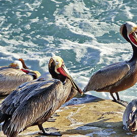 Brown Pelicans at La Jolla Cove by Lyuba Filatova