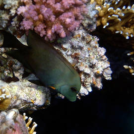 Brown Surgeonfish 2