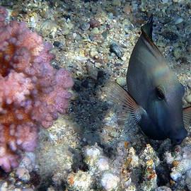 Brown Surgeonfish Acanthurus Nigrofuscus by Johanna Hurmerinta