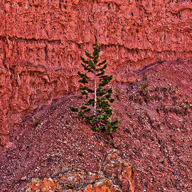 Bryce Canyon Pine Tree by Catherine Pearson