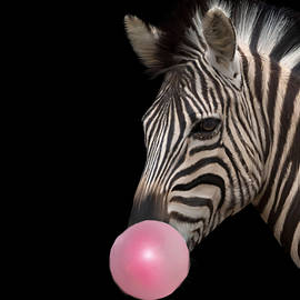 Kendall Tabor - Bubble blowing zebra