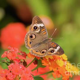 Buckeye Butterfly by Jill Lang