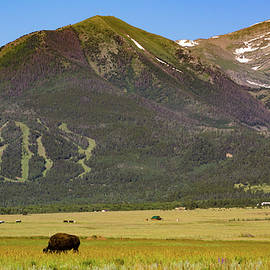 Jennifer Myers - Buffalo grazing
