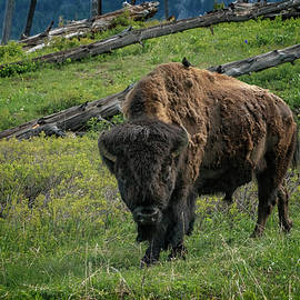 Greg Kluempers - Buffalo with Cow Birds at Yellowstone_GRK6876_05222018