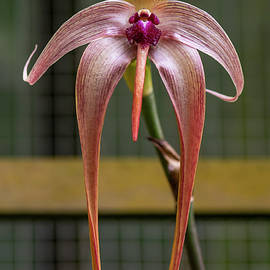 Bruce Frye - A Bulbo Orchid