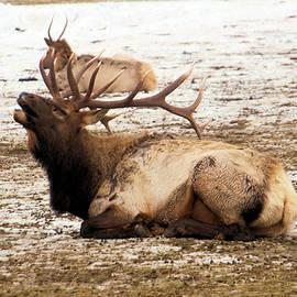 Bull elk calls out