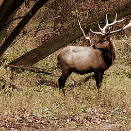 Michael Peychich - Bull Elk