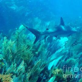 Bull Shark  Dry Rocks Reef Key Largo Florida by Charlene Cox