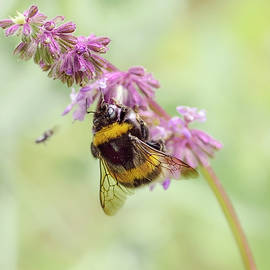 Bumble Collects The Nectar On The Flowers Of The Sage, Salvia by Irina Safonova