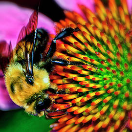 Bumblebee On A Coneflower 025 by George Bostian