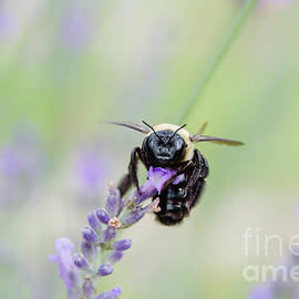 Bumblebee On The Lavender Field by Andrea Anderegg
