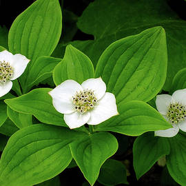 Bunchberry Blossoms by Bill Morgenstern