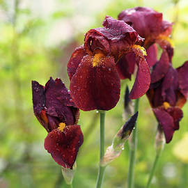 Rona Black - Burgundy Bearded Irises in the Rain