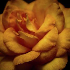 Steven Ward - Burnt Yellow Rose 3408 H_2
