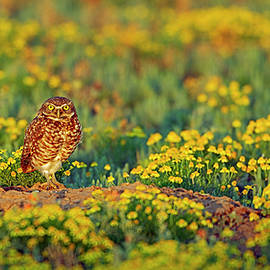 Gary Langley - Burrowing Owl among the wildflower