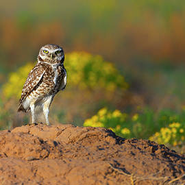 Gary Langley - Burrowing Owl Attitude