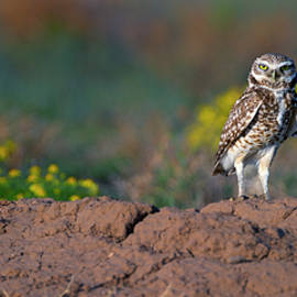 Gary Langley - Burrowing Owl Attitude wide
