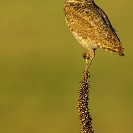 John De Bord - Burrowing Owl In Sunlight
