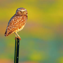 Gary Langley - Burrowing Owl on Post