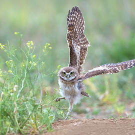 Burrowing Owl Joyfully Spies Grasshopper by Judi Dressler