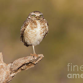 Bryan Keil - Burrowing Owl taking a break